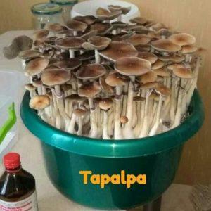 Стрейн: Tapalpa. Семейство: Strophariaceae. Род: Psilocybe Вид: Cubensis