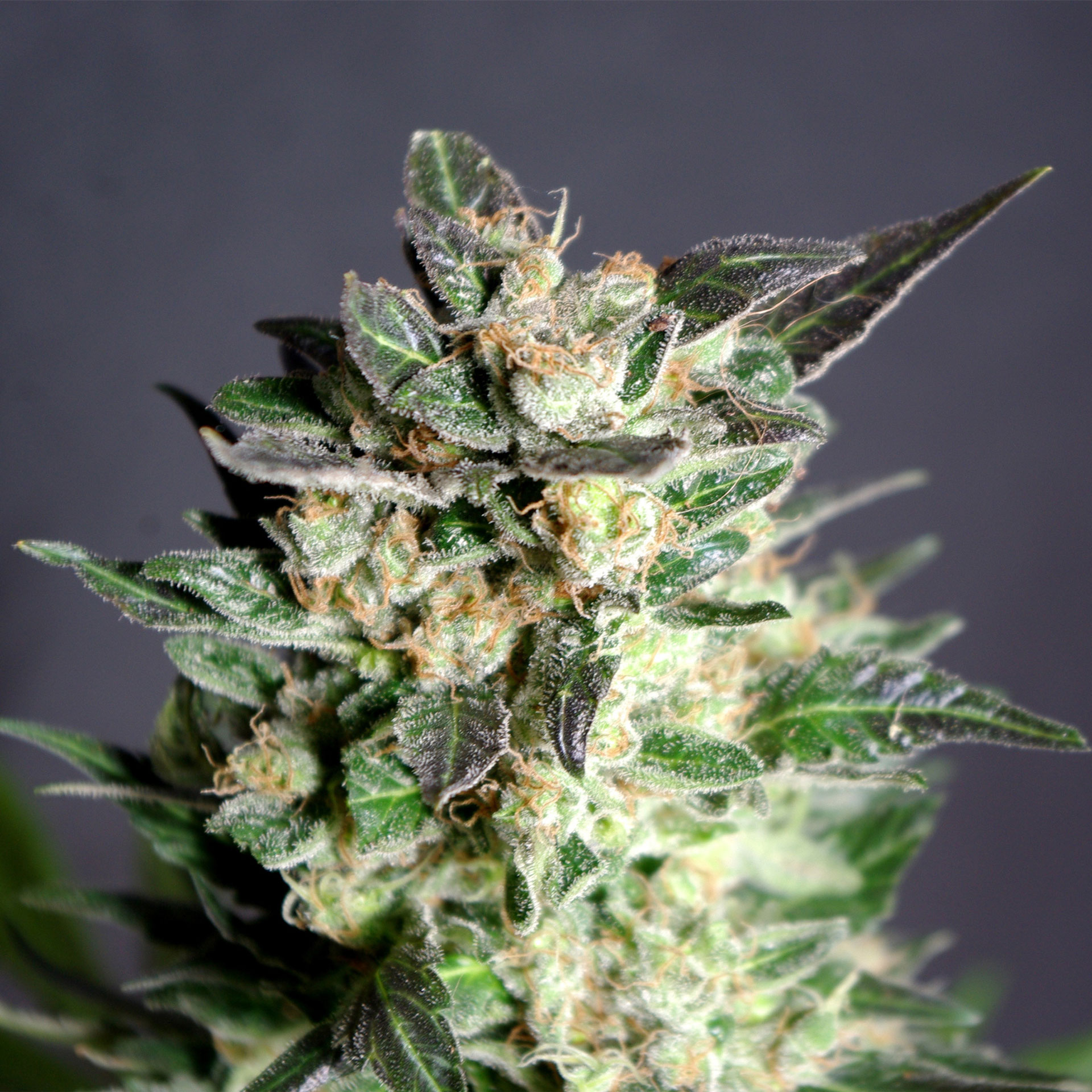 Пол семена марихуаны что употреблять марихуаны любители